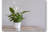 Peace Lily plant in a beautiful pot for gifting by GreenDecor